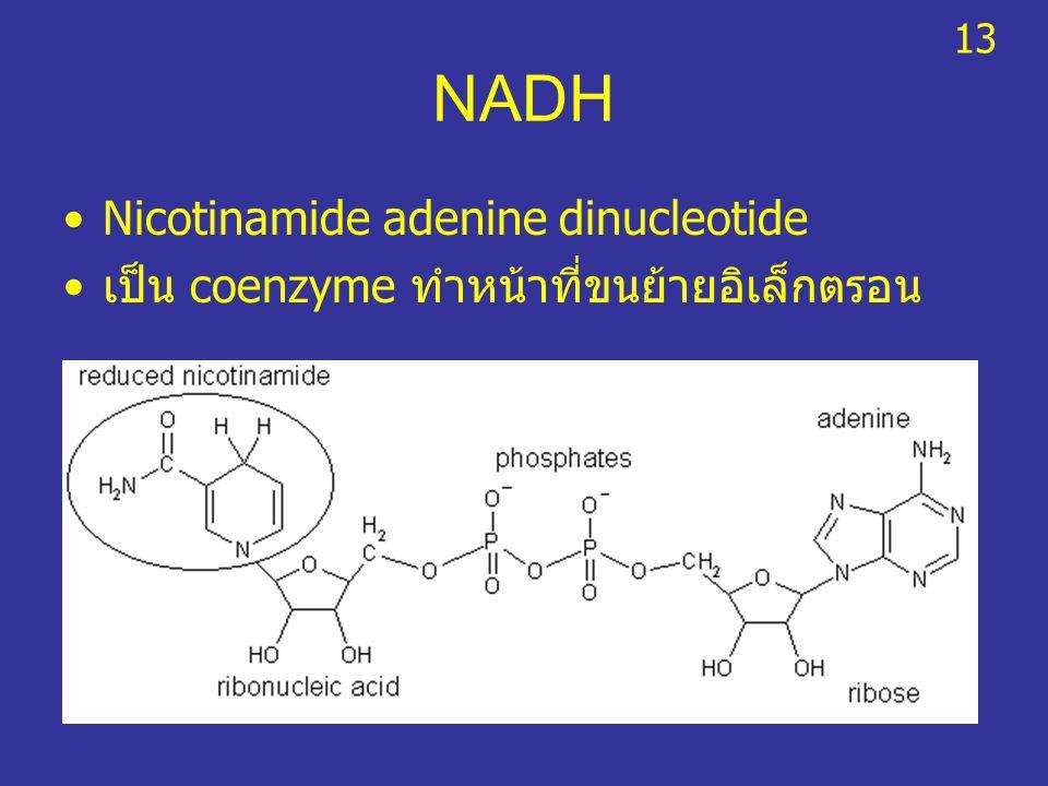 NADH Nicotinamide adenine dinucleotide เป็น coenzyme ทำหน้าที่ขนย้ายอิเล็กตรอน 13