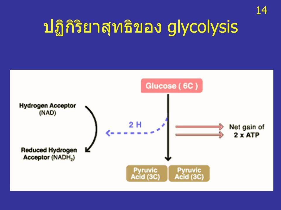 ปฏิกิริยาสุทธิของ glycolysis 14