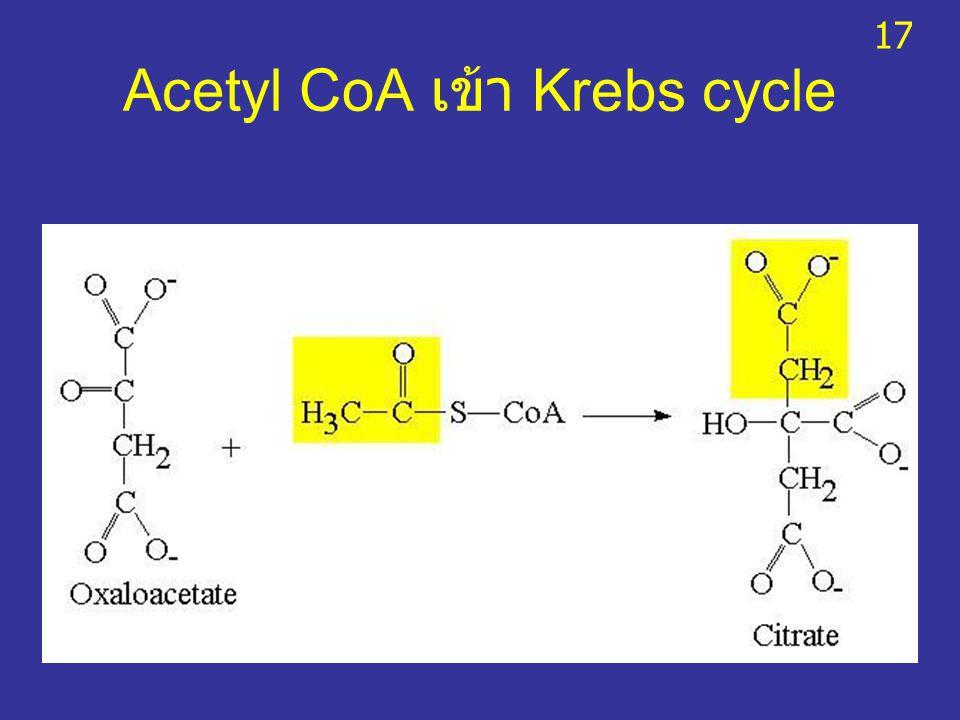 Acetyl CoA เข้า Krebs cycle 17