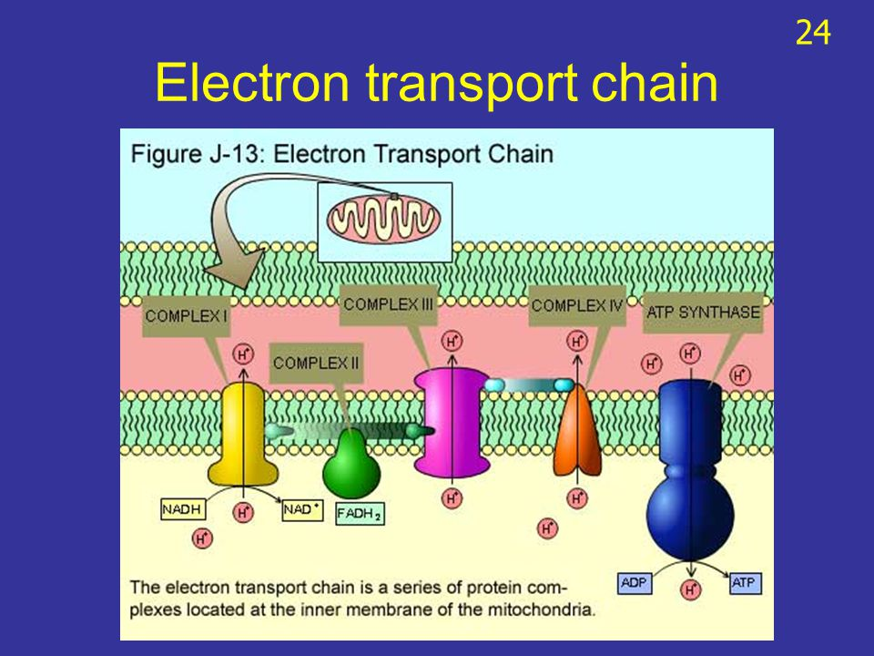 Electron transport chain 24