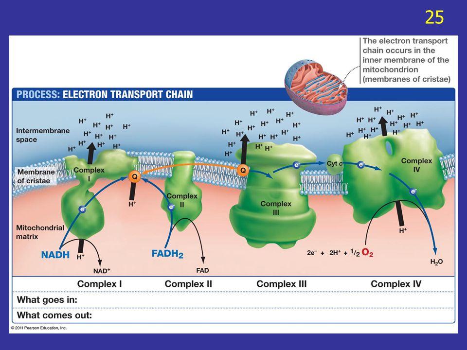 Electron จะถูกส่งจาก electron acceptor ตัว หนึ่งไปยังอีกตัวหนึ่งตามลำดับใน electron transport system ผู้รับ electron ตัวสุดท้ายของระบบนี้คือ O 2 ซึ่ง จะรวมกับ proton กลายเป็นน้ำ 26