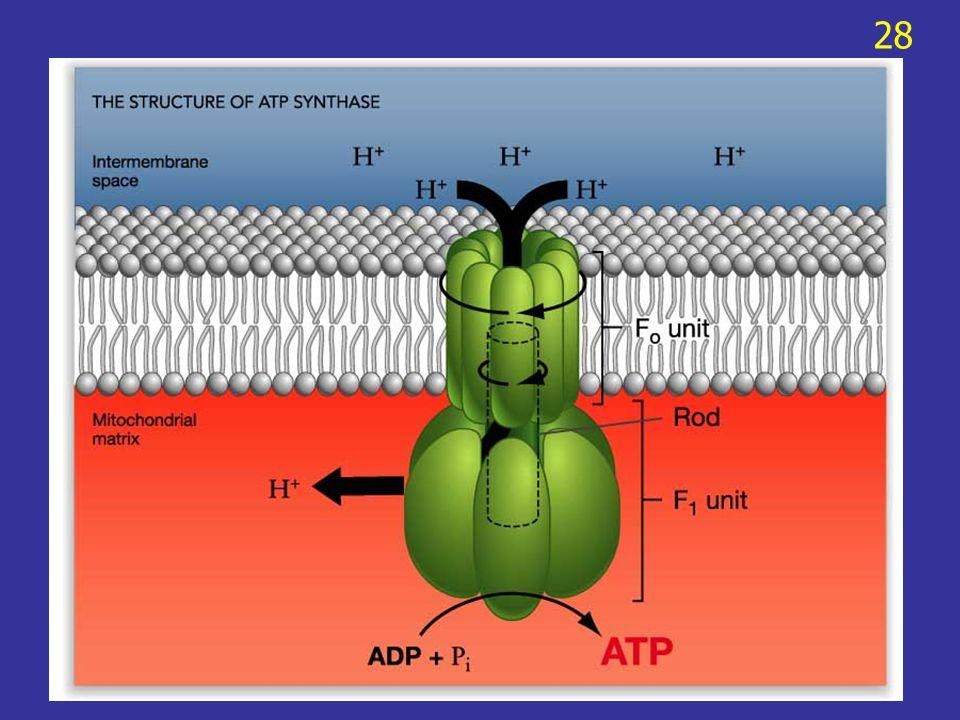 สารอาหารอื่นที่ไม่ใช่ glucose สารอาหารอื่น เช่น โปรตีนหรือไขมัน จะถูก เปลี่ยนไปเป็นสารที่เหมาะสม และส่งเข้าสู่ glycolysis หรือ citric acid cycle Amino acids จะถูกกำจัด –NH 2 หรือย้ายไปยัง โมเลกุลอื่น และ carbon skeleton จะถูก เปลี่ยนไปเป็น metabolic intermediate เช่น pyruvate 29