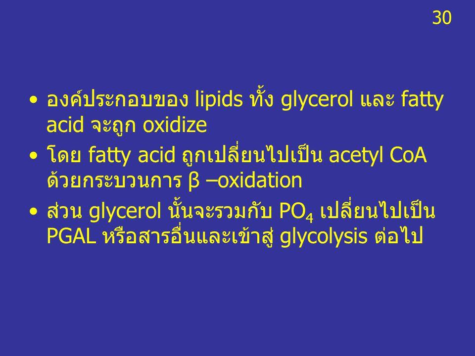 องค์ประกอบของ lipids ทั้ง glycerol และ fatty acid จะถูก oxidize โดย fatty acid ถูกเปลี่ยนไปเป็น acetyl CoA ด้วยกระบวนการ β –oxidation ส่วน glycerol นั