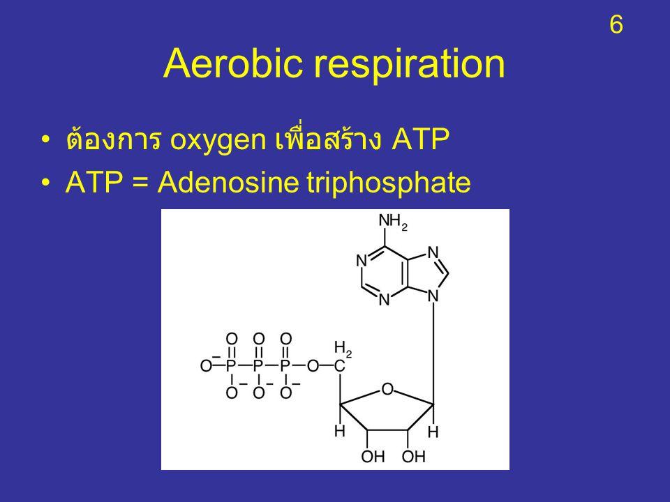 Aerobic respiration ต้องการ oxygen เพื่อสร้าง ATP ATP = Adenosine triphosphate 6