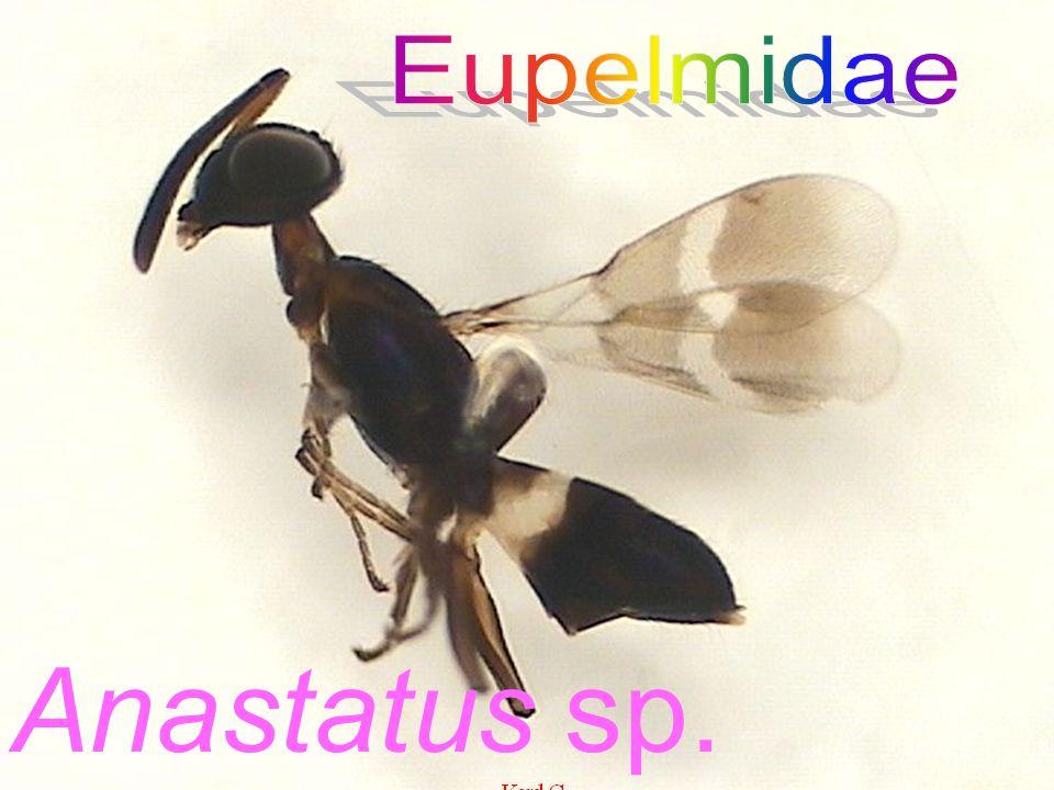 Agiommatus sp. Pteromalidae