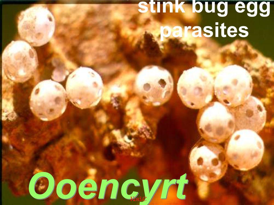 Litomastix sp. polyembryonic in corn armyworm