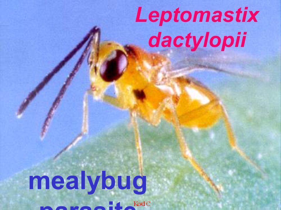 Leptomastix vs Pseudococcid mealybug parasite