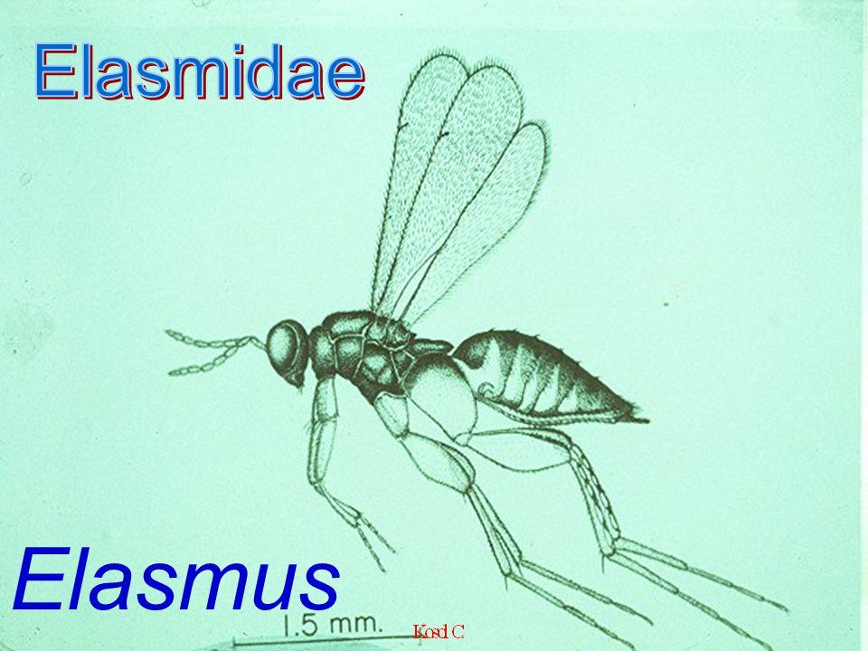 Signiphoridae