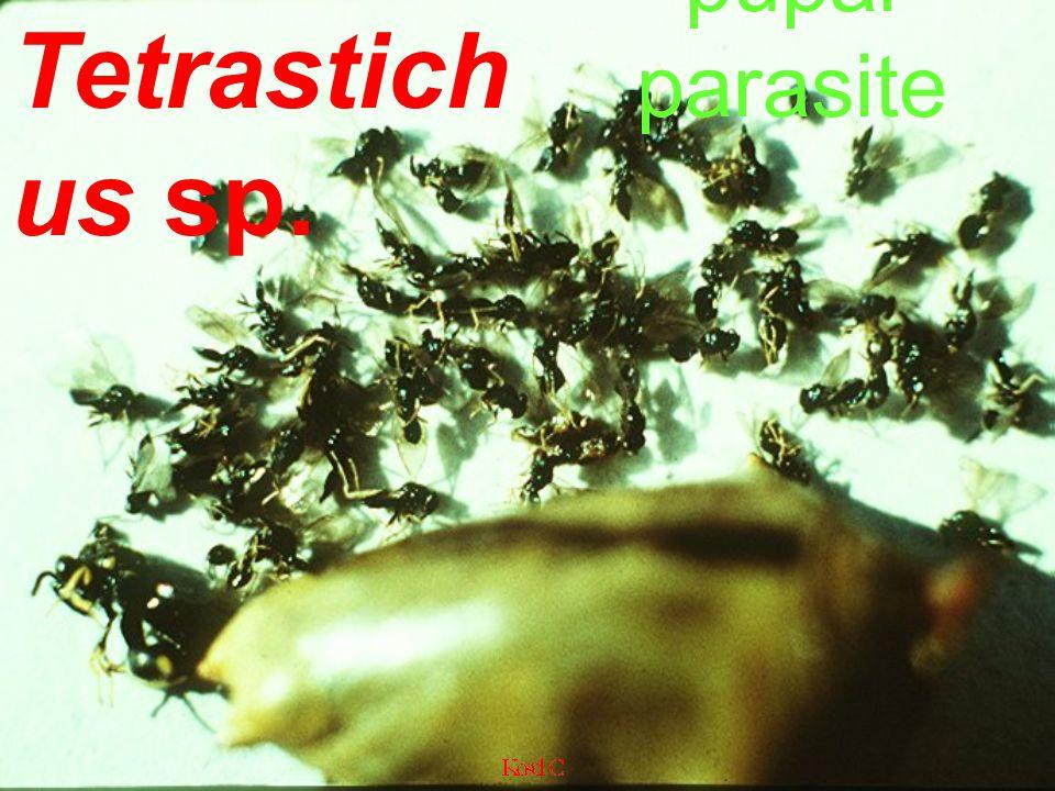 Parasa lepida mummified larvae slug caterpillar parasites