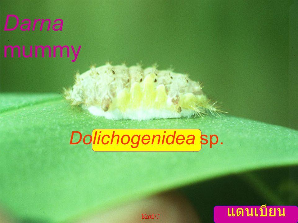 Dolichogenidea parasae ex Darna Slug caterpillar parasites
