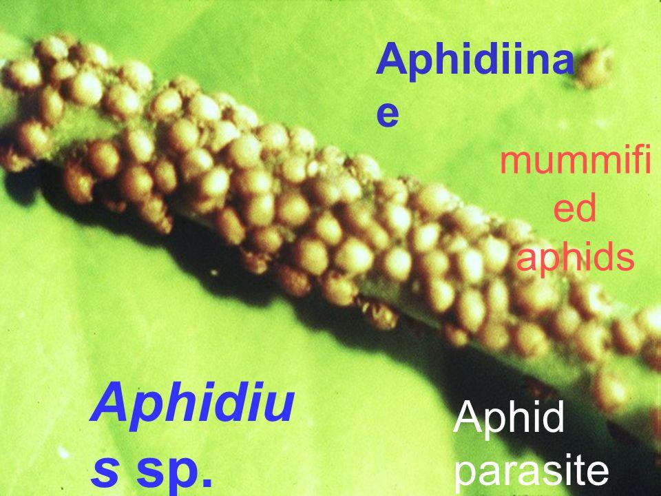 Bracon sp. Caseworm parasite Braco ninae