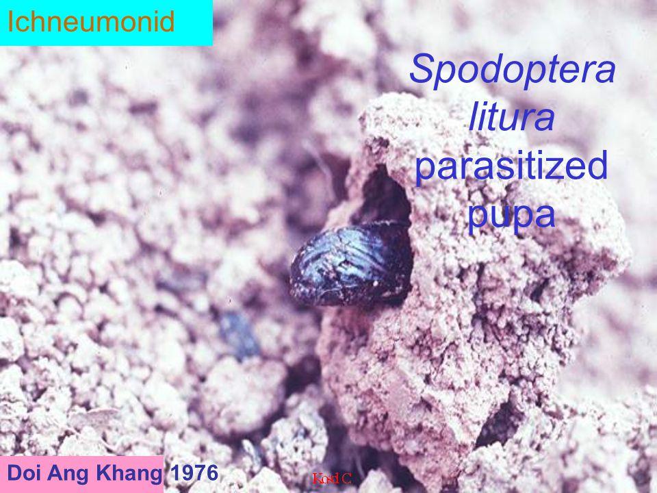 Enicospilus sp.. Ophionina e
