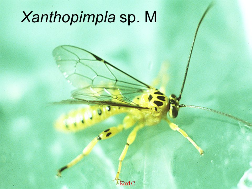 Scenocharop s sp. Scenoch arops