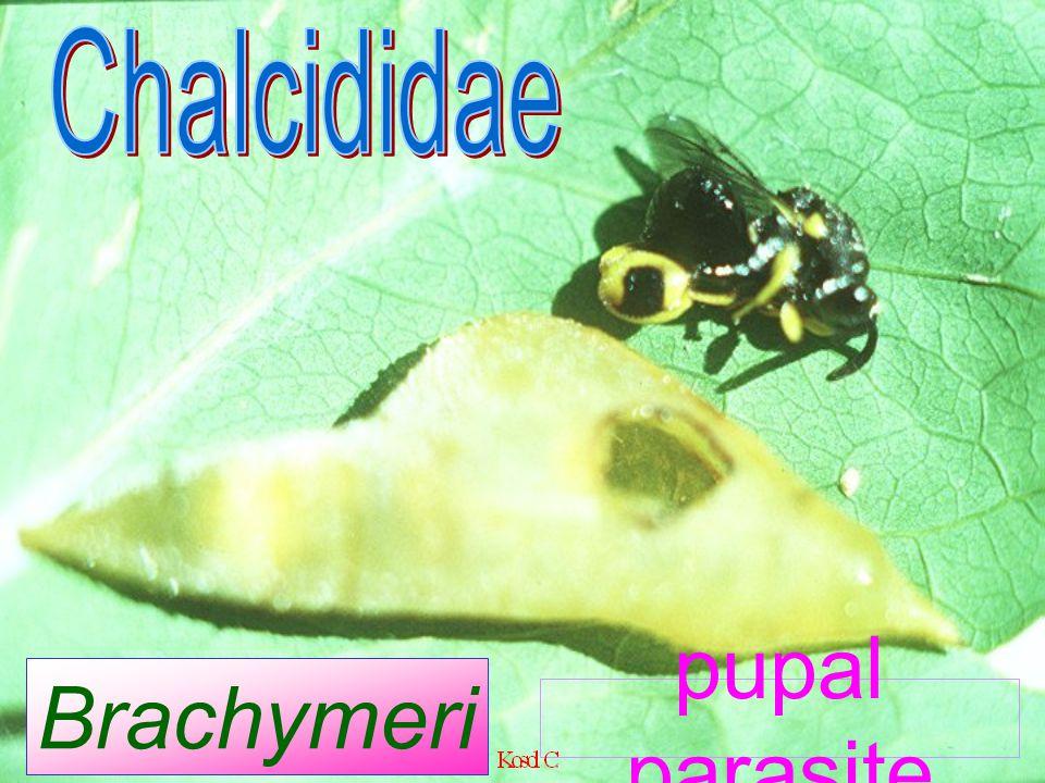 Aphanocmus manilae (Ashmead) female Ceraphronidae