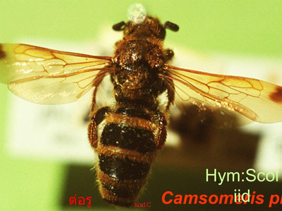 Camsome riella annulat a ต่อ รู F.Sconii dae White grub parasite mal e