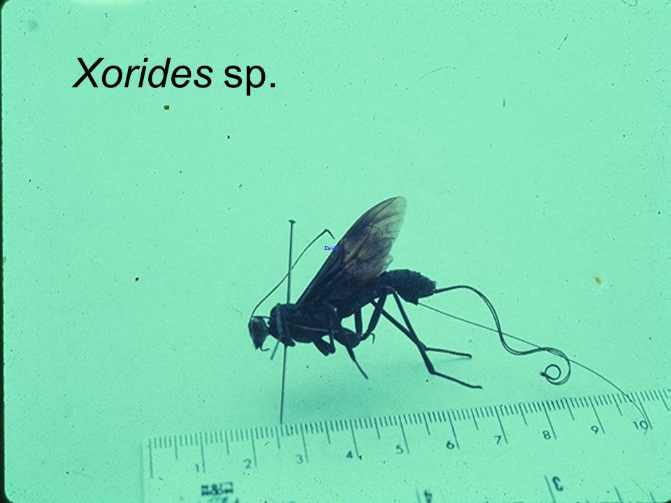 Xorides sp. yellow wing