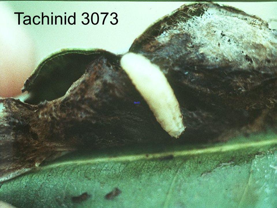 Tachinid 3061