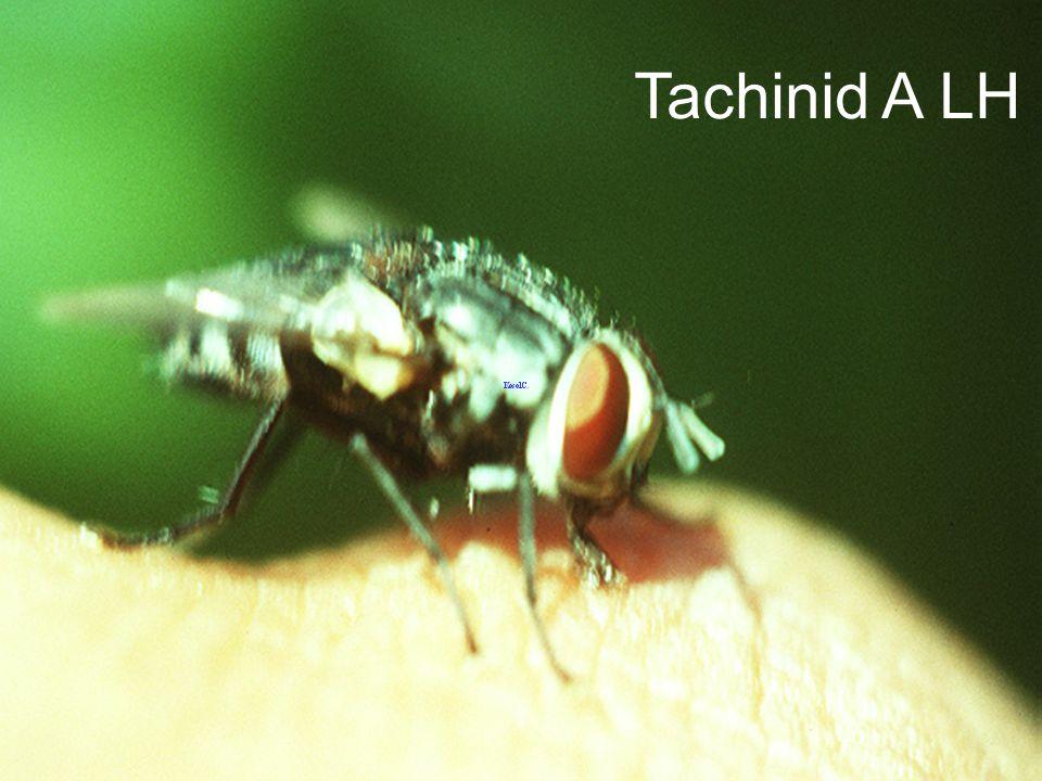 Tachinid A ex Achaea janata