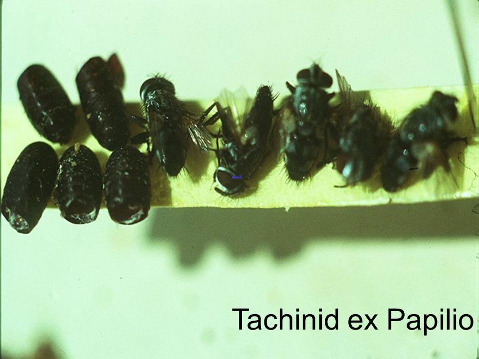 Tachinid Egg on Chalcoscelides albiguttata