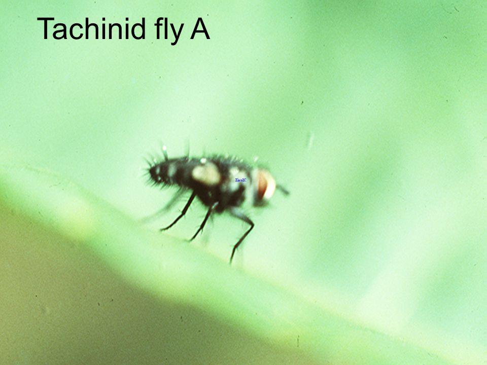 Tachinid ex Papilio