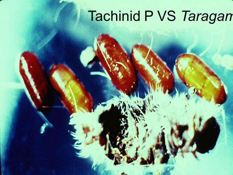 Tachinid P ex Achaea janata