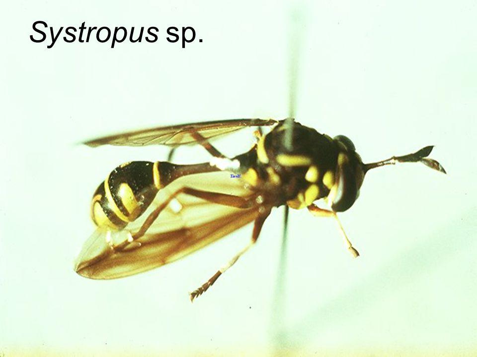 Systropus polistoides