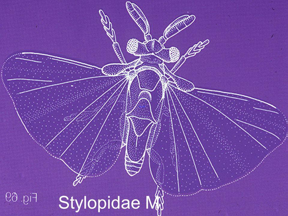 Halictophagus spectrus