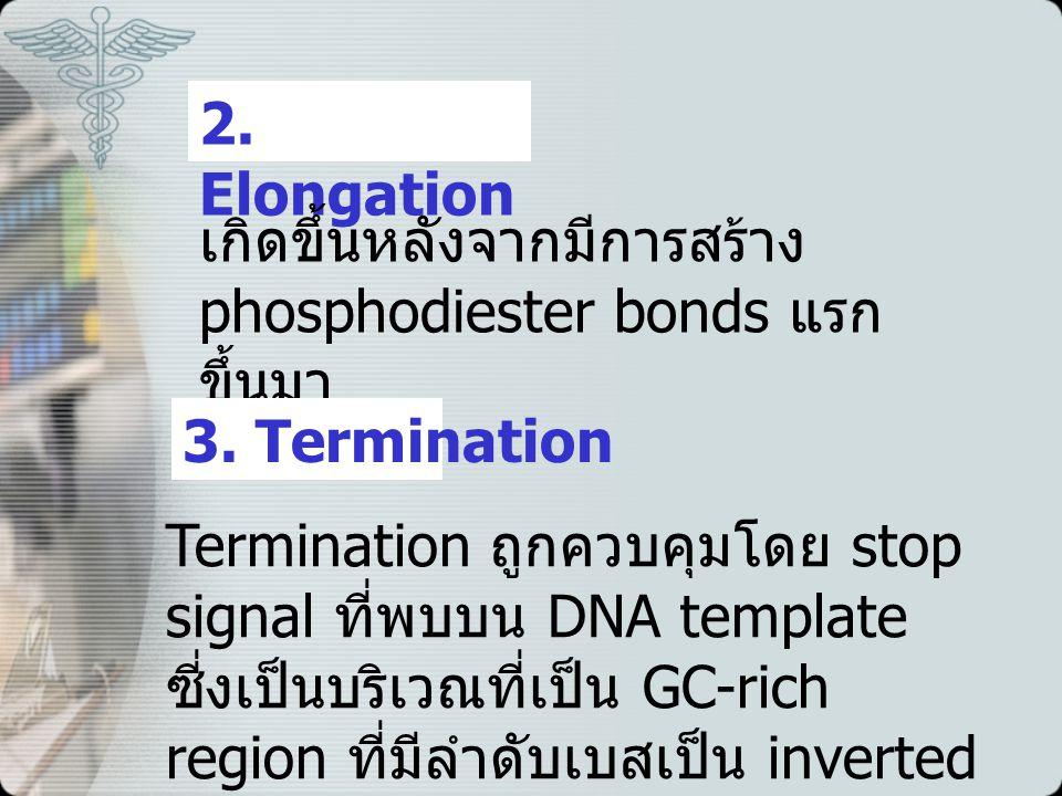 2.Elongation เกิดขึ้นหลังจากมีการสร้าง phosphodiester bonds แรก ขึ้นมา 3.