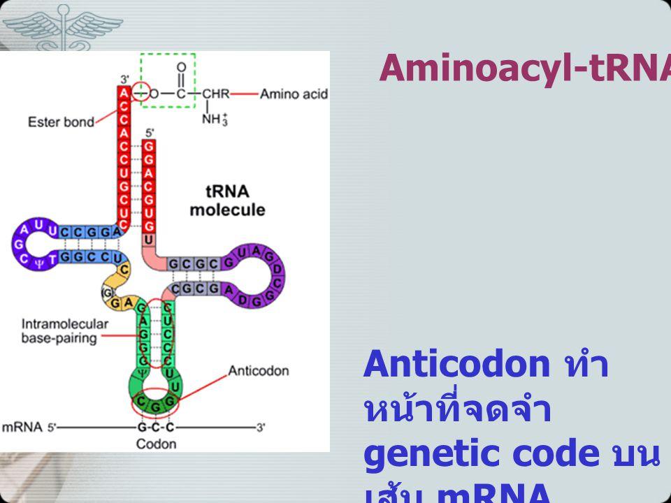 Aminoacyl-tRNA Anticodon ทำ หน้าที่จดจำ genetic code บน เส้น mRNA