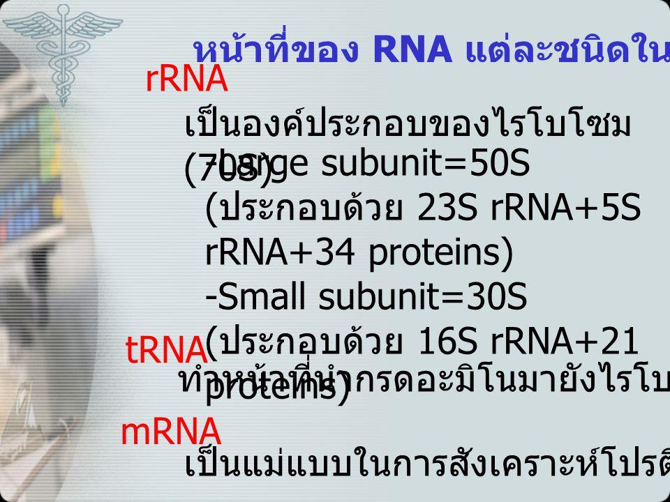 rRNA เป็นองค์ประกอบของไรโบโซม (70S) -Large subunit=50S ( ประกอบด้วย 23S rRNA+5S rRNA+34 proteins) -Small subunit=30S ( ประกอบด้วย 16S rRNA+21 proteins) tRNA ทำหน้าที่นำกรดอะมิโนมายังไรโบโซม mRNA เป็นแม่แบบในการสังเคราะห์โปรตีน หน้าที่ของ RNA แต่ละชนิดในโปรคาริโอต