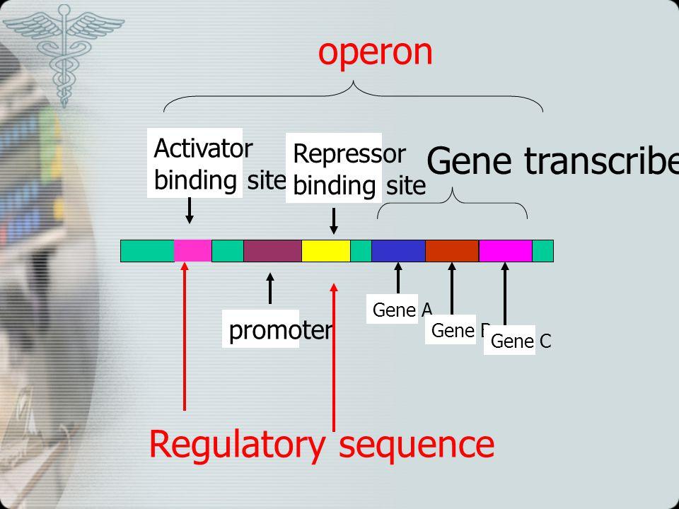 Activator binding site Repressor binding site promoter Gene A Gene B Gene C operon Regulatory sequence Gene transcribed