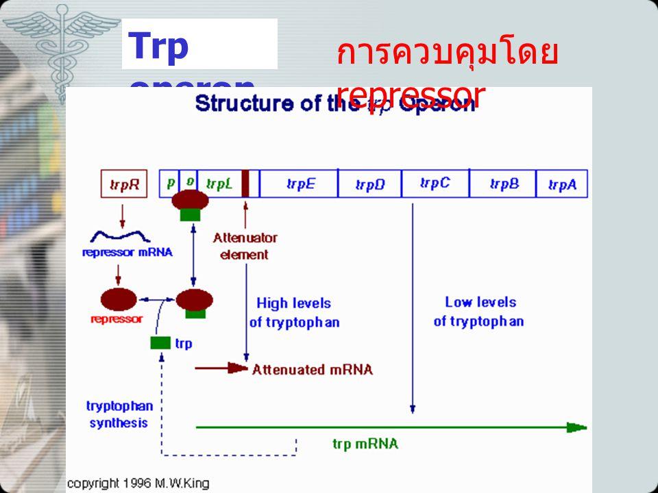 Trp operon การควบคุมโดย repressor