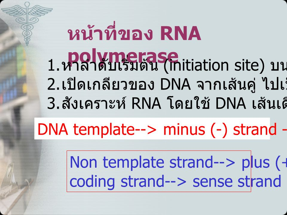 หน้าที่ของ RNA polymerase 1.หาลำดับเริ่มต้น (initiation site) บน DNA 2.