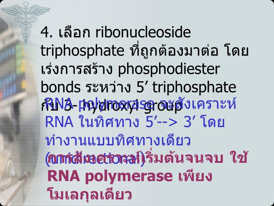 4. เลือก ribonucleoside triphosphate ที่ถูกต้องมาต่อ โดย เร่งการสร้าง phosphodiester bonds ระหว่าง 5' triphosphate กับ 3- hydroxyl group RNA polymeras