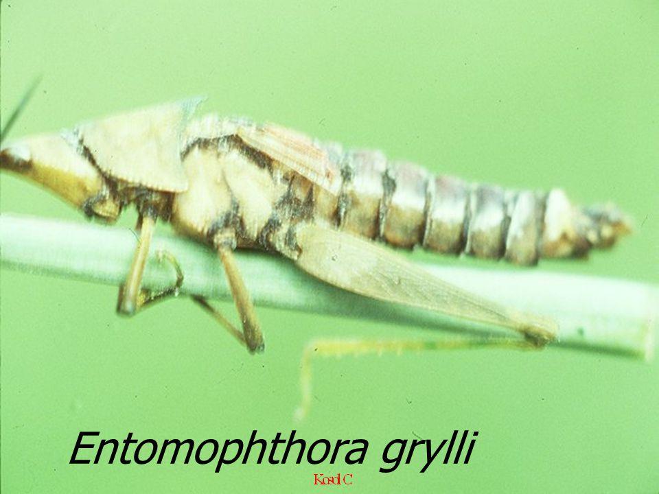Entomophthora grylli EX Hieroglyphus banian