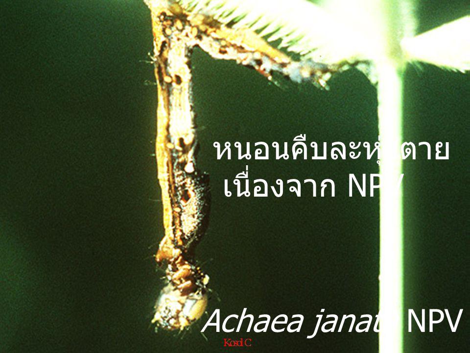 Euthalia acontia garuda VS Bacillus thuringiensis (BT)