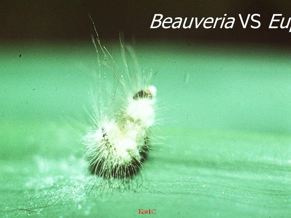 Beauveria VS Eupterote L2