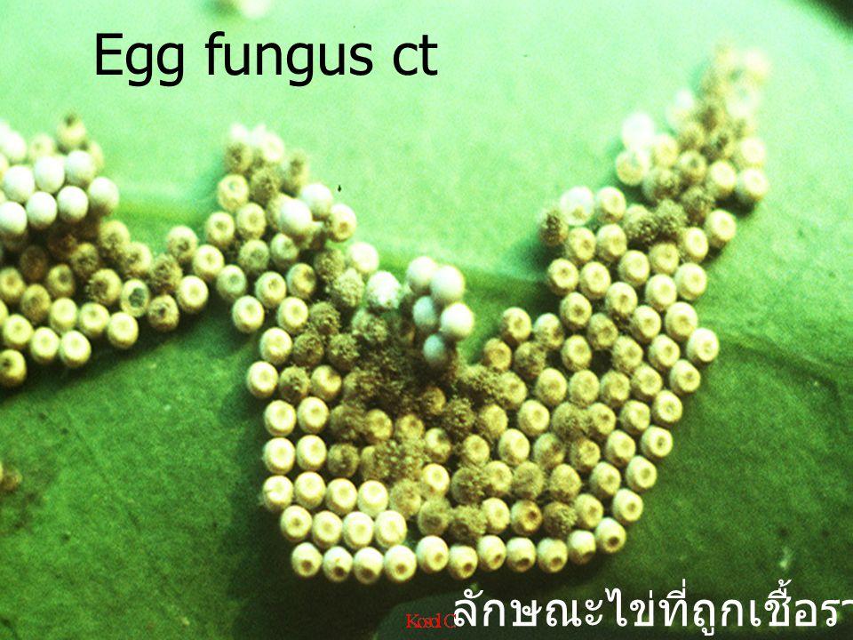 Egg fungus ct ลักษณะไข่ที่ถูกเชื้อราเข้าทำลาย