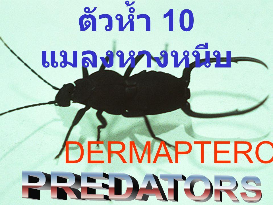 ตัวห้ำ 10 แมลงหางหนีบ DERMAPTEROUS
