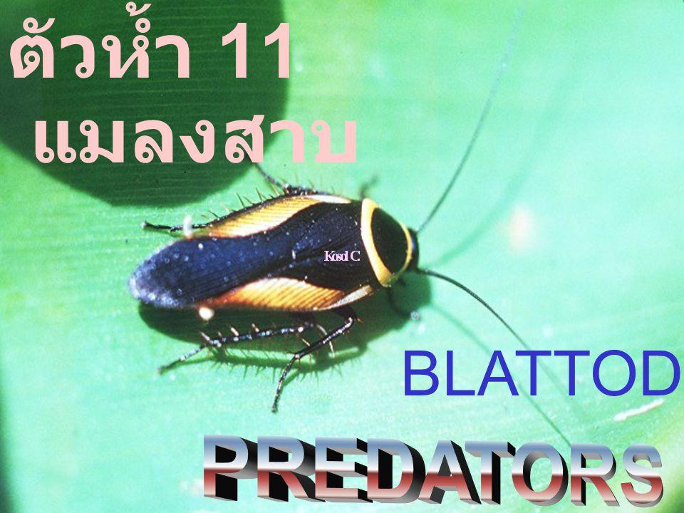 แมลงสาบ ตัวห้ำ 11 BLATTODEA :