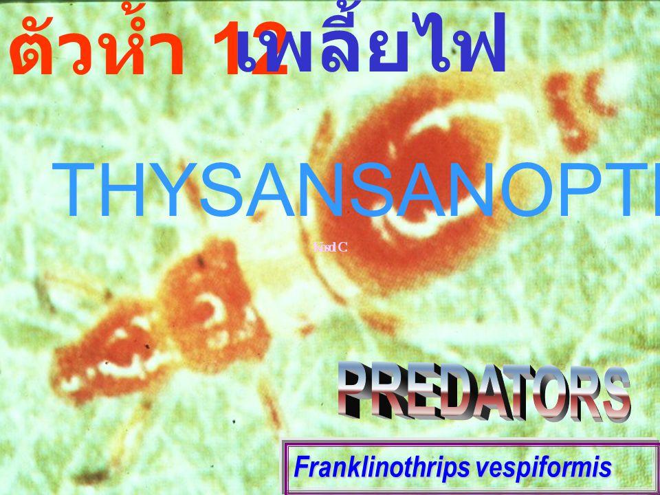 Franklinothrips vespiformis ตัวห้ำ 12 เพลี้ยไฟ THYSANSANOPTEROUS