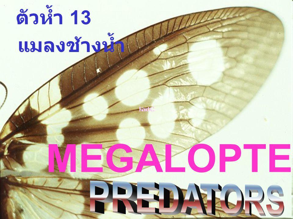 ตัวห้ำ 13 MEGALOPTEROUS แมลงช้างน้ำ