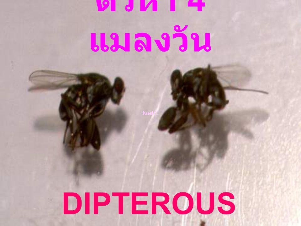 ตัวห้ำ 4 แมลงวัน DIPTEROUS PREDATORS