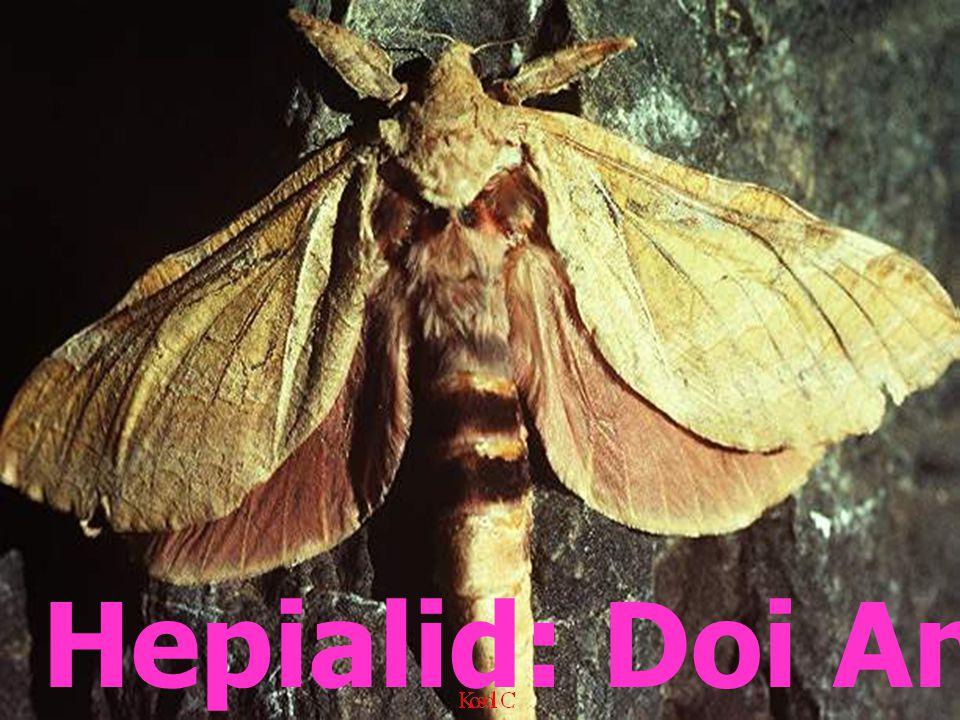 Female Eupterote testacia