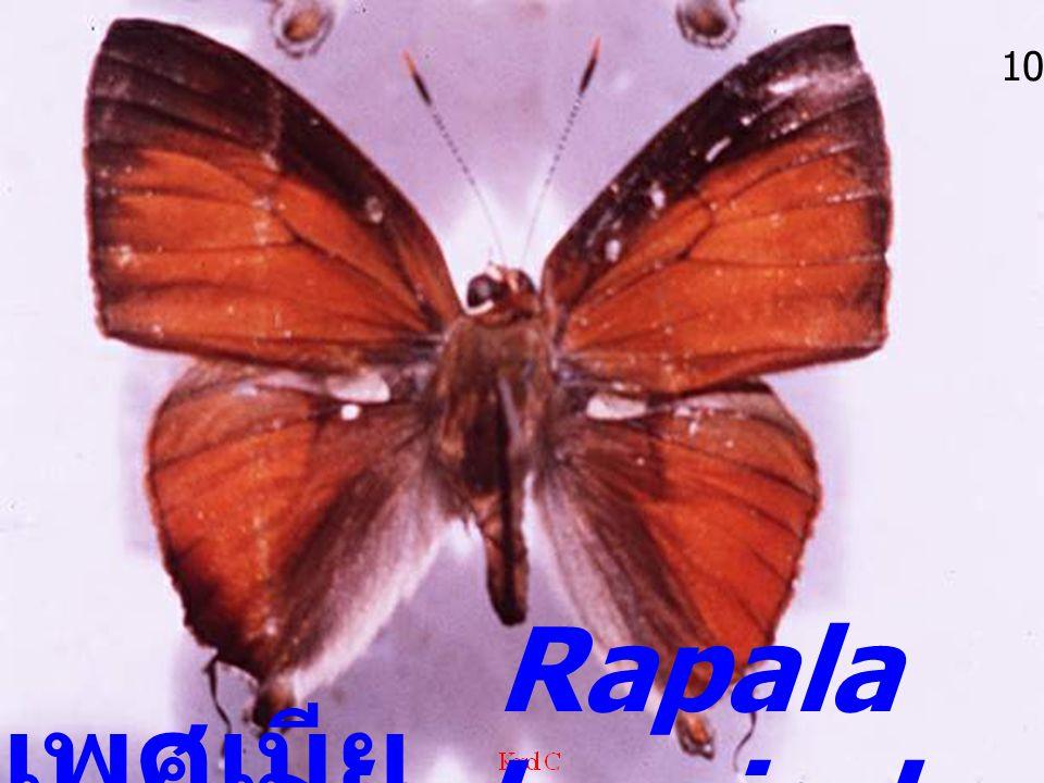 เพศเมีย 10 Rapala iarbus iarbus