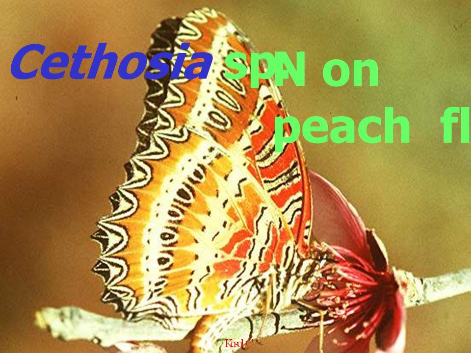 N on peach fl Cethosia sp.