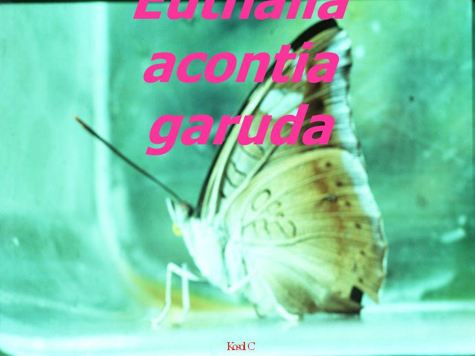 Euthalia acontia garuda