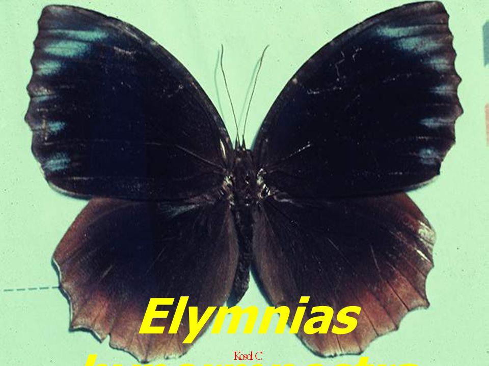 Elymnias hypermnestra