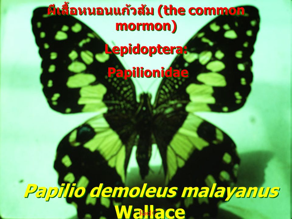 Papilio demoleus malayanus Wallace ผีเสื้อหนอนแก้วส้ม (the common mormon) Lepidoptera: Papilionidae ผีเสื้อหนอนแก้วส้ม (the common mormon) Lepidoptera