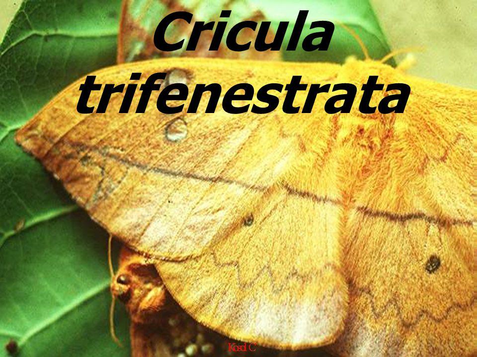 Cricula trifenestrata